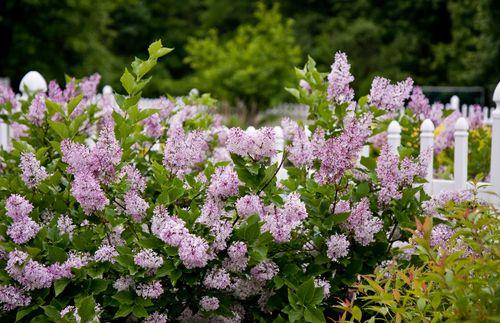 Lilacs-2