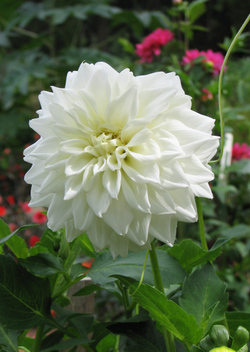 Whiteflower06